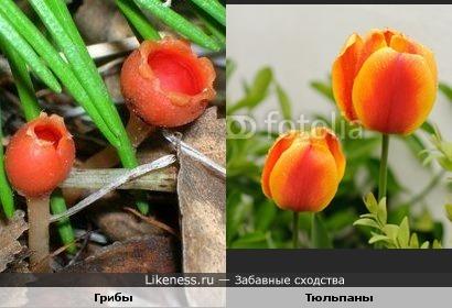 Лилипуты грибного мира похожи на маленькие тюльпаны