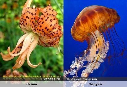 Эта лилия похожа на медузу