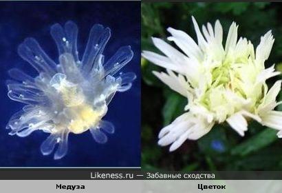 Медуза похожа на цветок