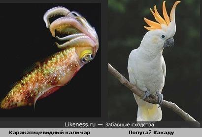 Каракатицевидный кальмар и попугай Какаду