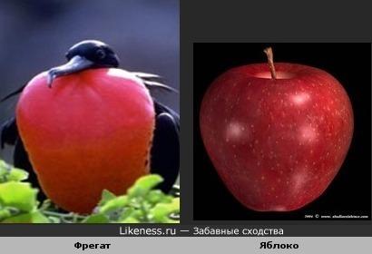 Надувной горловой мешок у фрегата ярко-красного цвета и похож на яблоко
