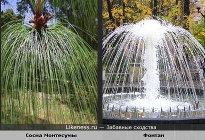 Хвоя сосны Монтесумы напоминает фонтан