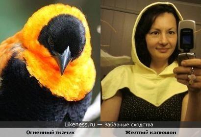 Оперение этой птицы напоминает жёлтый капюшон
