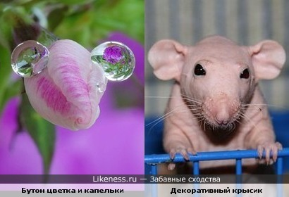 Бутон цветка и капельки напомнили декоративного крысика