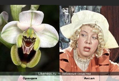 Орхидея-стряпуха