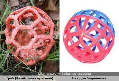 Гриб решёточник красный похож на мяч для бадминтона