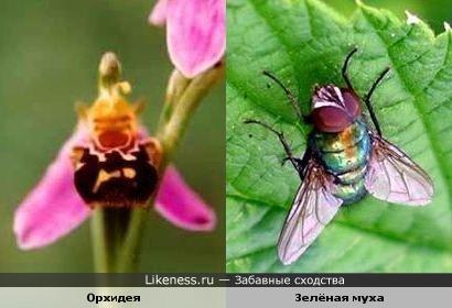 Цветок орхидеи напоминает муху