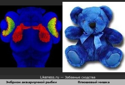 Эмбрион аквариумной рыбки похож на плюшевого мишку