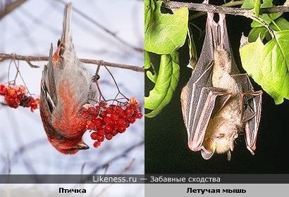 Не только летучие мыши спят, повиснув на ветке вниз головой
