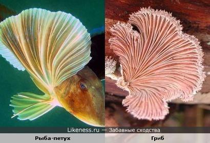 Плавники у рыбы-петуха похожи на гриб