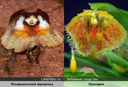 Плащеносная ящерица и орхидея