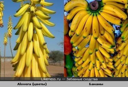 Alovera (цветы) и бананы