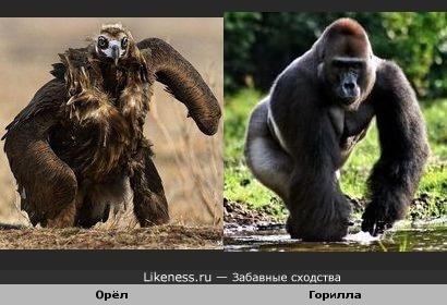 Орёл на земле напомнил гориллу