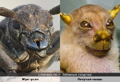 Жук-усач и летучая мышь