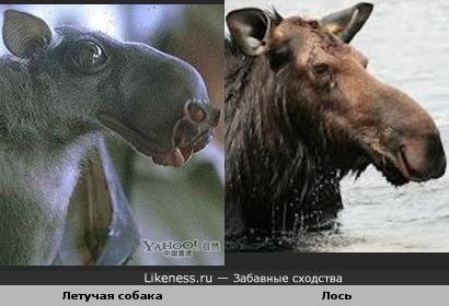 Голова летучей собаки похожа на голову лося
