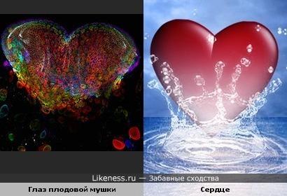 Конфокальное изображение глаза плодовой мушки похоже на сердце