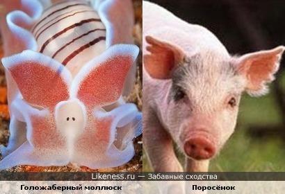 Этот голожаберный моллюск напоминает розовенького поросёночка