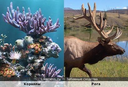 Кораллы похожи на рога