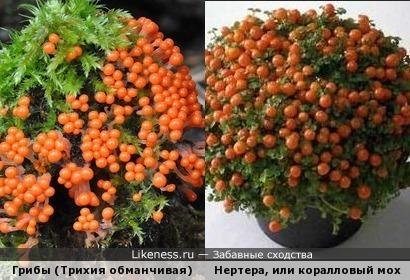 Эти грибочки похожи на ягодки