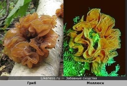 Этот гриб похож на моллюска