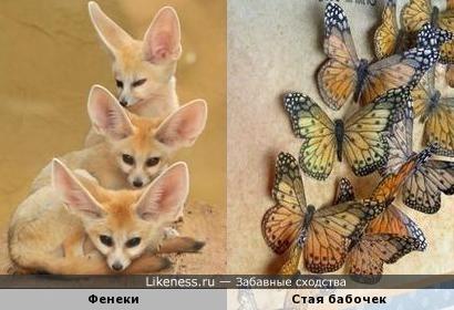 Ушки фенеков напомнили крылья бабочек
