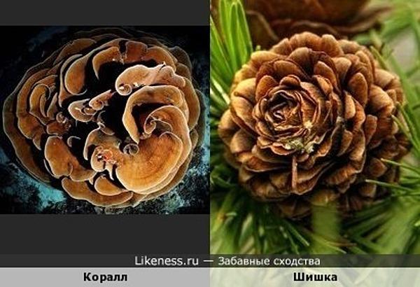 Подводная коралловая роза и еловая шишка