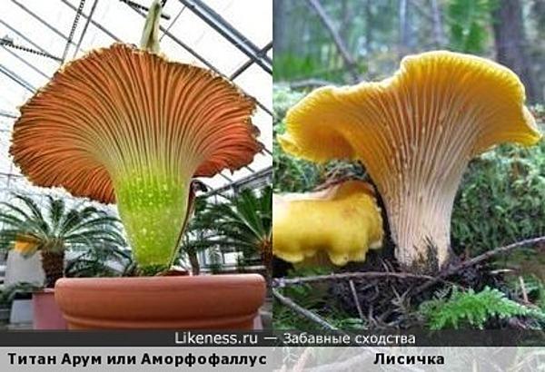Самый большой и вонючий цветок в мире Титан Арум напомнил обыкновенную лисичку