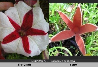 Этот гриб, когда цветёт, похож на звезду