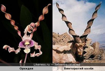 Орхидея и винторогий козёл