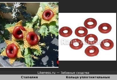 Цветки стапелии и уплотнительные кольца на форсунки