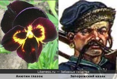 Анютин казачок