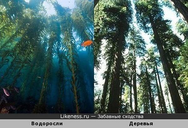 Водоросли напоминают деревья