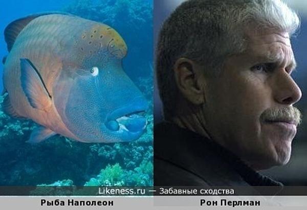 Рыба Наполеон и Рон Перлман