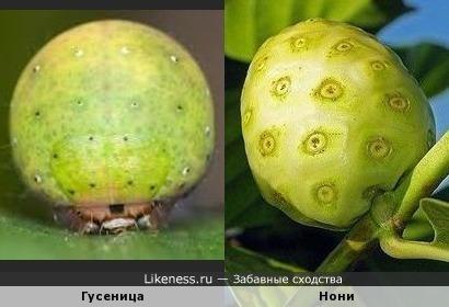 Гусеница Нони