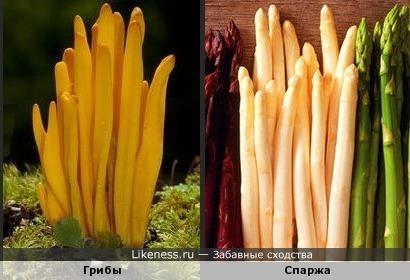 Эти грибы напоминают жёлтую спаржу