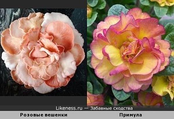 Эти розовые вешенки похожи на примулу