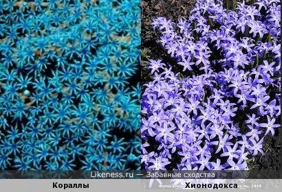 Кораллы и хионодокса