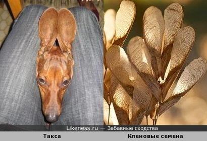 Ушки этой таксы напоминают по форме кленовые семена