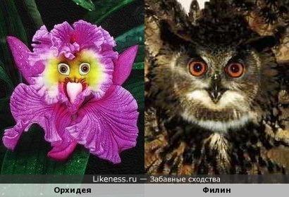 Эта орхидея напоминает филина
