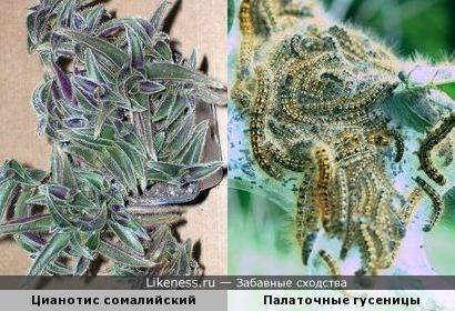 Это растение напоминает гусениц