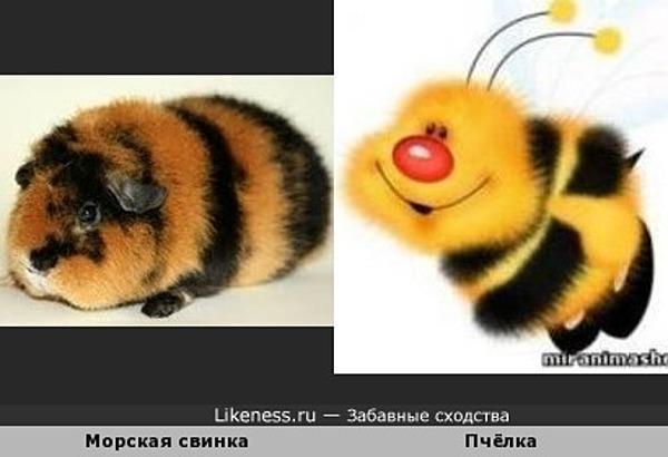 Морская свинка похожа на пчёлку