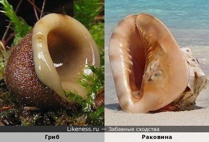 Этот гриб напоминает раковину