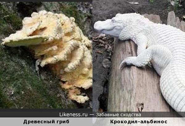 Древесный гриб и крокодил-альбинос