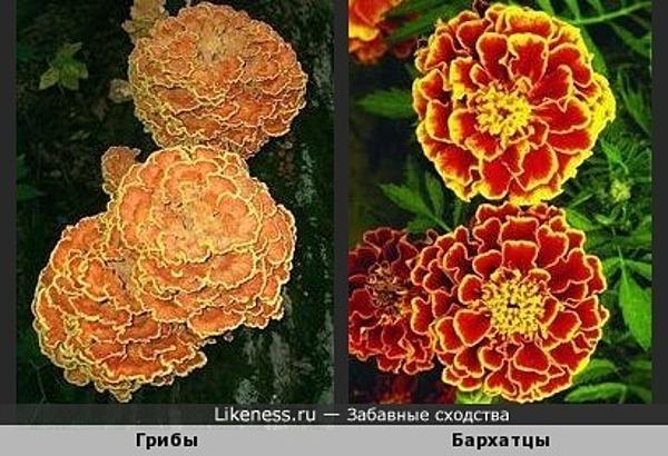 Эти грибы похожи на бархатцы