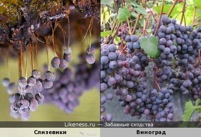 Слизевики и виноград
