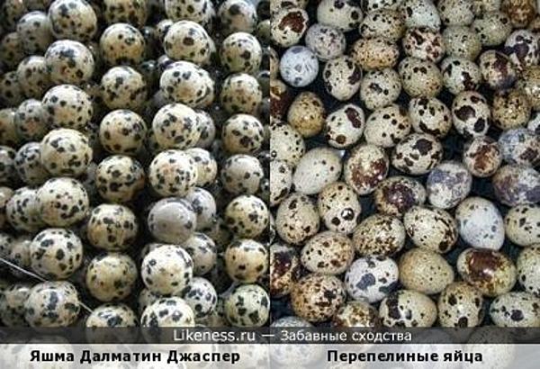 Яшма Далматин Джаспер и перепелиные яйца