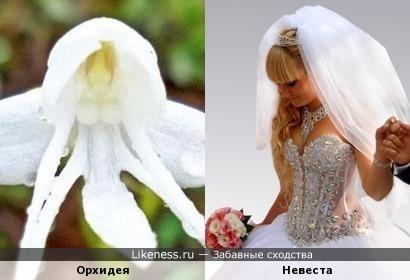 Орхидея-невеста