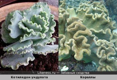 Котиледон и кораллы