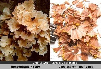 Древовидный гриб и стружка от карандаша