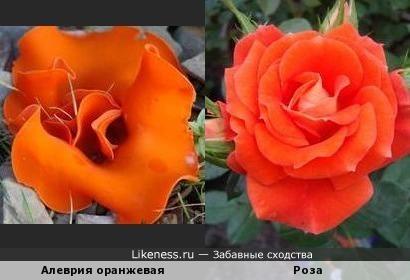 Этот гриб похож на розу